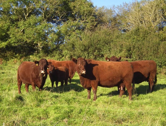 Devon heifers in the Cleve