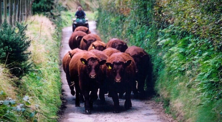 Moving cattle to new grounds