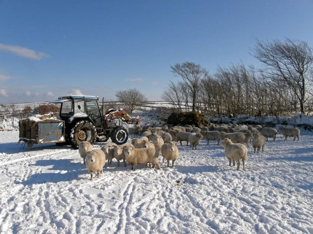 Feeding sheep in the snow
