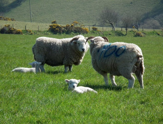 Mothers meeting with lambs