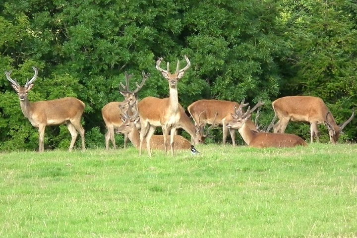 Red deer are regular visitors especially stags