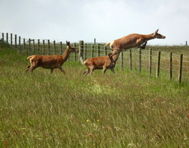 Red deer hind jumping the stock fence